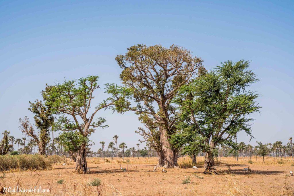 Senegal-baobá