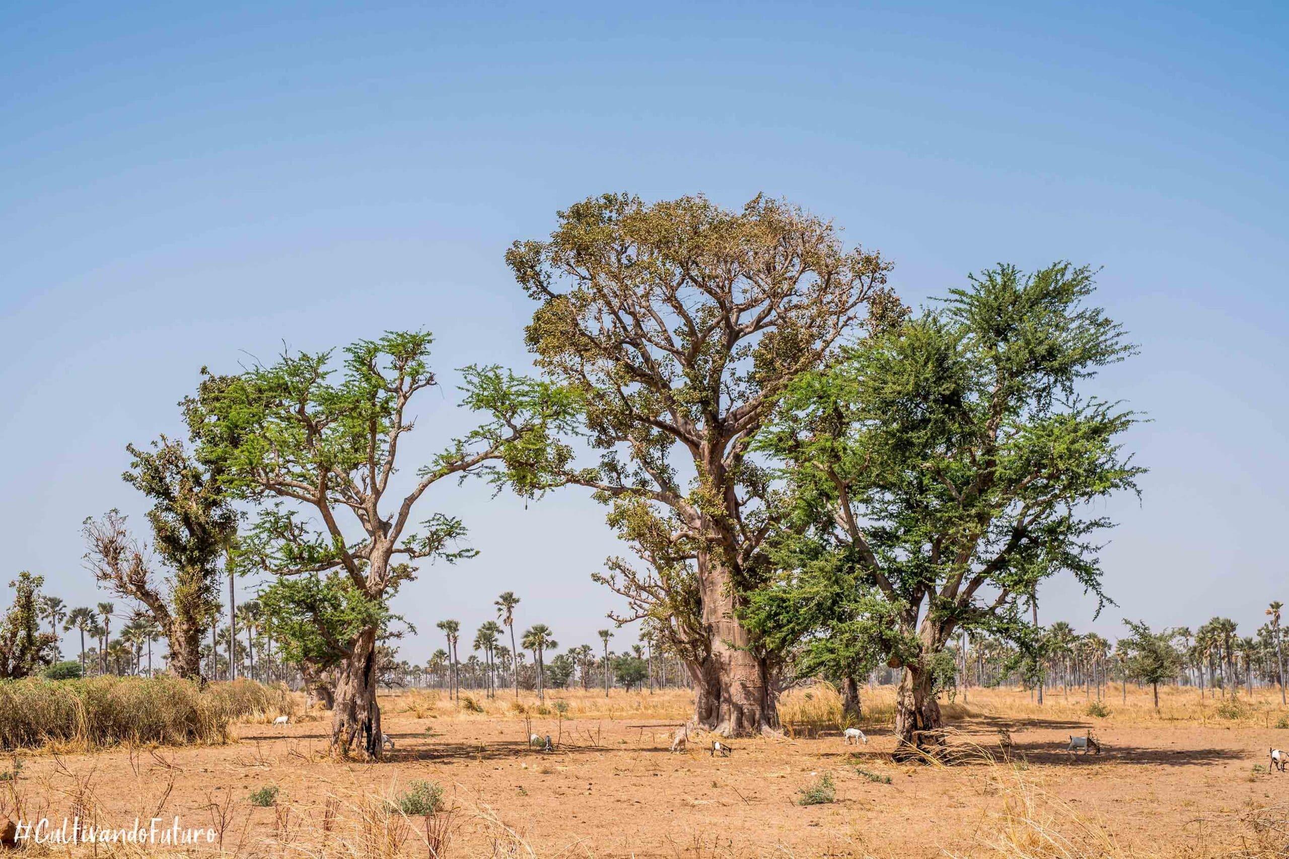 senegal-baobab